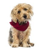 Front view of a Lucas terrier sitting, wearing a scarf, isolated Royalty Free Stock Images