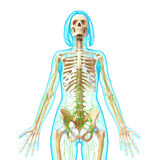 Front view of Lymphatic system Stock Photography
