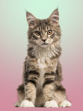 Front view of a Maine Coon kitten sitting Stock Photo