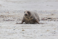 Front view of male gray seal Halichoerus grypus crawling on sa. Front view of natural male gray seal Halichoerus grypus crawling on sand beach Stock Photography