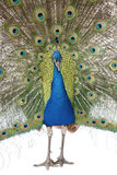 Front view of Male Indian Peafowl displaying tail. Feathers royalty free stock photography