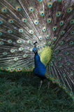 Front view of Male Indian Peafowl. Displaying tail feathers Stock Image