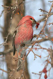 Front View of Male Pine Grosbeak. A side view of a male Pine Grosbeak from the front eating a red berry from a flowering crabapple tree in Littlefork, MN during Royalty Free Stock Images