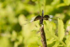 Front View of Male Widow Skimmer Dragonfly. Sitting on a broken stump, this brownish dragonfly with brown and white splotches on the wings and black stigma is a Stock Image