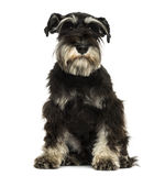 Front view of a Miniature Schnauzer sitting Stock Photo