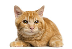 Front view of a Mixed-breed ginger cat looking away Stock Photography