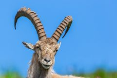 Front view natural alpine capra ibex capricorn sitting in meadow. Front view portrait natural male alpine capra ibex capricorn blue sky stock image