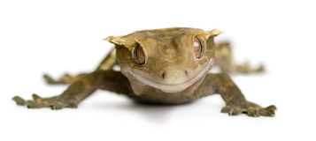Front view of New Caledonian Crested Gecko Stock Photos