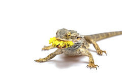 Front view od the agama lizard with dandelion Royalty Free Stock Photo