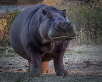 Front View Of An Aggressive Hippopotamus Stock Photography