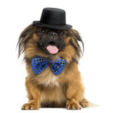 Front view of a Pekingese with a bow tie and top hat, panting Stock Photography