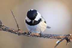 Front view of perching Coal Tit Stock Images