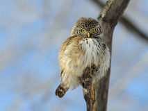 Front view of perching Pygmy Owl Royalty Free Stock Images