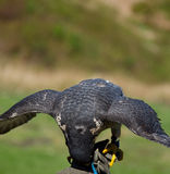 Front view of a peregrine falcon eating with wings open on Grouse Mountain in Vancouver, Canada. Front view of a peregrine falcon eating with wings open on Stock Images