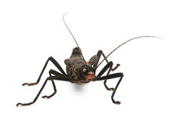 Front view of Peruphasma schultei, stick insect Stock Photography