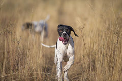 Front view of pointer running Royalty Free Stock Images