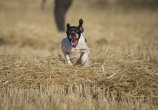 Front view of pointer running Royalty Free Stock Photography