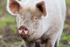 Front view portrait adult pig standing on ground Stock Photo