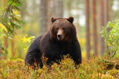 Big brown bear sitting in a forest in autumn royalty free stock image