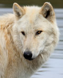 Front view portrait of a blond wolf with water for background Stock Images