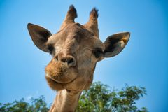 Portrait of natural giraffe head in blue sky royalty free stock photography