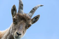 Front view portrait young alpine ibex capricorn blue sky royalty free stock photo