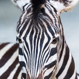 Front view portrait natural zebra royalty free stock images