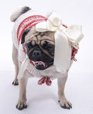 Front view of Pug Royalty Free Stock Photography