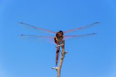 Front View of a Red Dragonfly Perched on a Branch Stock Photo