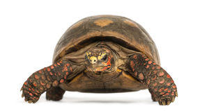 Front view of a Red-footed tortoise, Chelonoidis carbonaria Stock Photography