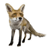 Front view of Red Fox, 1 year old, standing Stock Photo