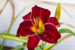 Front view of a red lily in the south garden royalty free stock images
