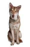 Front view of Saarlooswolf Dog sitting Stock Photo