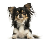 Front view of a shaggy Chihuahua lying down, isolated Stock Photos