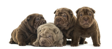 Front view of a Shar Pei puppies being together Stock Image