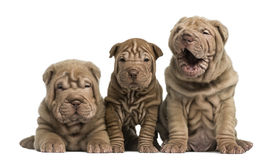 Front view of Shar Pei puppies sitting in a row, Stock Images