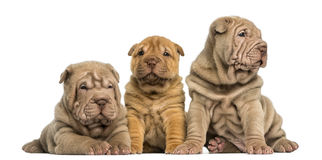 Front view of Shar Pei puppies sitting in a row, Stock Photos