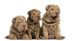 Front view of Shar Pei puppies sitting in a row, Stock Image