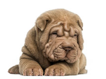 Front view of a Shar Pei puppy lying down, tired Royalty Free Stock Image