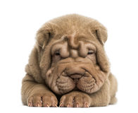 Front view of a Shar Pei puppy lying down, tired Royalty Free Stock Photos