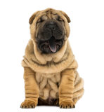 Front view of a Shar pei puppy, open mouth, Yawning stock photo