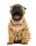 Front view of a Shar pei puppy, open mouth, Yawning Stock Image