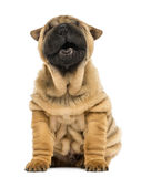 Front view of a Shar pei puppy, open mouth, Yawning Stock Images