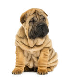 Front view of a Shar pei puppy sitting with eyes closed Royalty Free Stock Image
