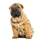 Front view of a Shar pei puppy sitting and looking away Royalty Free Stock Image