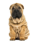 Front view of a Shar pei puppy sitting and looking at the camera royalty free stock images