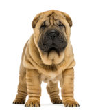 Front view of Shar pei puppy (11 weeks old) royalty free stock photography