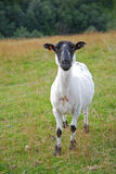 Front View of a Shaved Sheep Royalty Free Stock Images