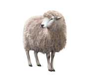 Front view of a Sheep looking away. Sheep looking away. Illustration isolated on white background Royalty Free Stock Photos