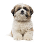 Front view of a Shih Tzu puppy lying stock image